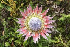 Protea flower meaning. Protea flower meaning. Growing Flowers, Cut Flowers, Dried Flowers, Planting Flowers, Unique Flowers, Colorful Flowers, Beautiful Flowers, Fleur Protea, Dark Paint Colors