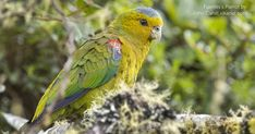 INDIGO-WINGED PARROT Environmental Issues, Habitats, Parrot, Indigo, Wildlife, Wings, Bird, Animals, Parrot Bird