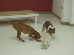https://flic.kr/p/6tsxVU | After The Kill - Little Dog Style | I don't know how the rope got in there but it didn't last long. They were like piranha, like lions, like, well, like wild dogs!  Don't ever get in a situation where little dogs have your shoe laces and start tugging. It can go horribly wrong.