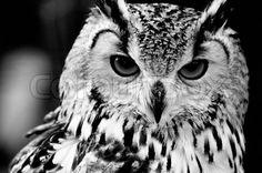Black & white portrait of Owl