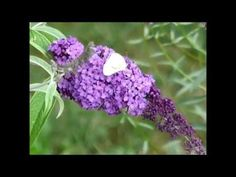 Schmetterlinge im September | Susi Testet und Bloggt Ein Kohlweißling ( cabbage white butterfly)