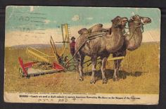 Russia Camels Harvesting