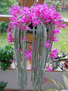 Disocactus flagelliformis - Rat Tail Cactus is a cactus with a thick hanging stems, each with 8 - 13 ribs, up to 3.3 feet (1 m) long...