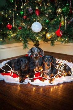 Make Massive Change To Your Dachshund´s Behaviour in Just 1 Day! - dachshunds #dachshund