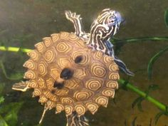 HYBRID: Concentric Diamondback terrapin x False Map turtle