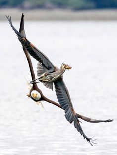 A bald eagle flies after a plucky heron who puts up a brave fight to save his…