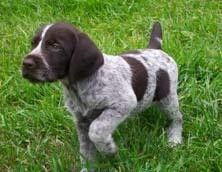 My dad has a German wirehair! I remember when he was cute like this...they don't grow up to be so cute!