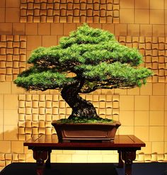 The Eternal Attraction of Bonsai / Tokyo Pic #盆栽