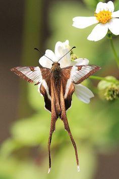 Lamproptera curius 'White Dragontail'