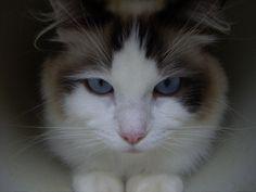 Ragdoll cats   Top 15 most #Cutest #cat #breeds