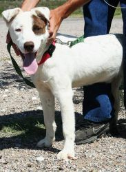 Nemo: Bull Terrier, Dog; Bisbee, AZ (reminds me of the little Rascals dog)