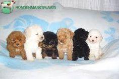 Afbeeldingsresultaat voor poedels pups