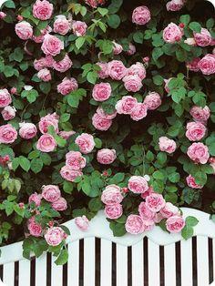 ...å nei da - ikke  her til gards!!Nå er det slutt på alt som heter røda rosor,og jeg er stygt redd at etter gårsdagens herjinger i bed...
