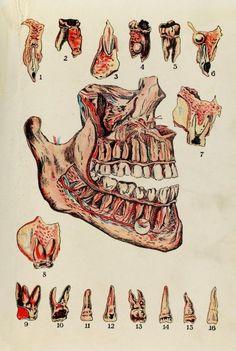 Dentist Cartoon, Dentist Art, Dental World, Dental Life, Medical Drawings, Medical Art, Rabbit Anatomy, Illustrations, Illustration Art