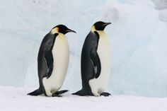 Emperor penguin | Two Emperor Penguin Adults