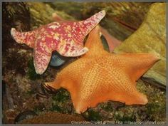 Ochre sea star. Sea stars are purely marine animals, even using sea water instead of blood to pump nutrients throughout their bodies.
