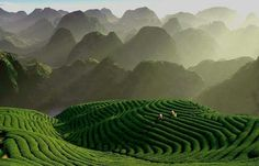 Green Tea Farm at Moc Chau, Vietnam
