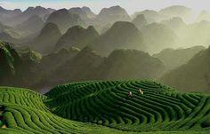 Tea hills, Moc Chau, Vietnam. Produces Vietnam's best teas.