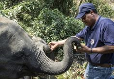 FOUR PAWS International is developing an incredible, expansive elephant sanctuary in Myanmar. This centre will allow elephants formerly used for labour or tourist activities to retire, living the rest Happy Elephant, Wild Elephant, Cute Elephant, Happy Animals, Cute Animals, Biggest Elephant, Elephant Sanctuary, Tree Trunks, Animal Welfare