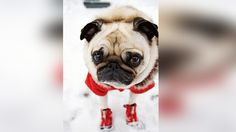 15 Pugs That Are Totally Getting Into The Christmas Spirit - Rantpets - http://www.rantpets.com/2015/12/15/15-pugs-that-are-totally-getting-into-the-christmas-spirit/