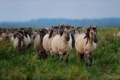 Wild konik horses in Odry delta reserve, Stepnica, Poland © Solvin Zankl for Rewilding Europe