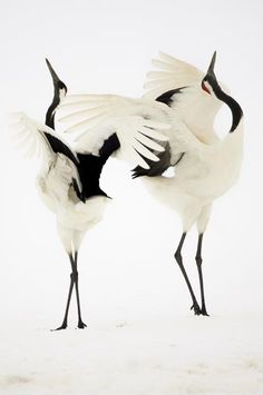 Danse de grues du Japon / Dance of Japanese cranes photographed by Simone Sbaraglia.  For the Japanese, the crane—or tsuru—is considered a national treasure, appearing in art, literature, and folklore. The Japanese regard the crane as a symbol of good fortune and longevity because of its fabled life span of a thousand years. It also represents fidelity, as Japanese cranes are known to mate for life.