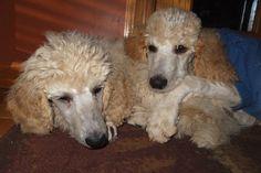 Pampered Poodles 4 U - JoDee