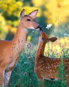 Baby Bambi in wildflowers with his mother, giving a kiss. Fawn and Doe.