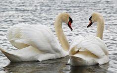 pareja-cisnes-blancos.jpg (1600×1000)