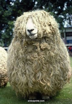 Devon and Cornwall Longwool SHEEP. Please note that prints are for personal display purposes only cm) Fine Art Print Framed, Poster, Canvas Prints, Puzzles, Photo Gifts and Wall Art Alpacas, Farm Animals, Animals And Pets, Cute Animals, Beautiful Creatures, Animals Beautiful, Foto Picture, Wooly Bully, Baa Baa Black Sheep