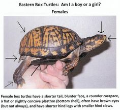 Do sex of How turtle you the tell a