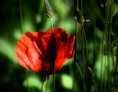 Red Poppies, My Works, New Work, Poppy, Behance, Gallery, Creative, Check, Plants