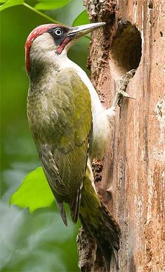 Green Woodpeckers - Green and Red Ground Forager Green Woodpecker, World Birds, Bird Pictures, Animal Pictures, Bird Boxes, Wild Creatures, Colorful Birds, Bird Art, Beautiful Birds