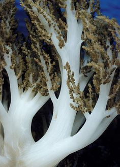 Broccoli coral (Nephthea) is a soft coral / Banda Sea, Indonesia