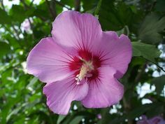 Hibiscus s. 'Minerva' Shrubs Summer flowering shrub selected for longer blooming season, superior flowers, little to no seed production. Lavender flowers with a pink overlay and dark red eye provide a welcome. Hibiscus Shrub, Purple Hibiscus, Hibiscus Plant, Purple Roses, Lavender Flowers, White Flowers, Maidenhair Tree, Shade Shrubs, Monrovia Plants