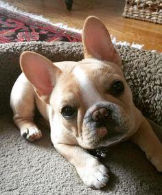 """""""Hello"""", French Bulldog Puppy❤️ #Buldog #cutedogsstuff"""