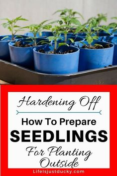 How To Hardening Off Seedlings - A Beginners guide for starting a garden and transitioning your indoor seedling for life in your vegetable garden. Young plants, such as tomatoes or broccoli should be slowly acclimated to planting outside. Gardening tips for the spring planting of your seedlings. #GardeningTips #startingavegetablegardening
