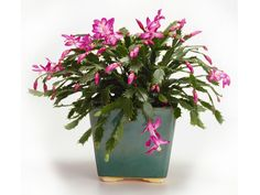 When and How to Repot a Christmas Cactus - succulents - Plants Christmas Cactus Plant, Easter Cactus, Cactus Flower, Flower Bookey, Flower Film, Flower Band, Flower Pots, Cactus Cactus, Gardens