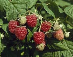 (2) Autumn Bliss Raspberry - Red - Fall - fruit season 1, excellent flavor, large berry, p resis 2