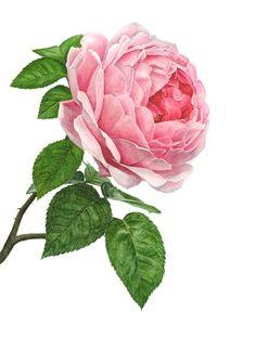Anna Mason ~ Pink Rose, x Art Vintage, Vintage Flowers, Botanical Flowers, Botanical Prints, Exotic Flowers, Purple Flowers, Ranunculus Flowers, Art Floral, Watercolor Flowers