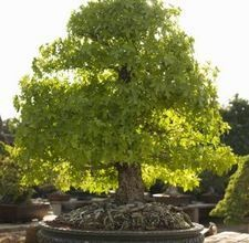 I would LOVE to be able to grow a large bonsai oak.