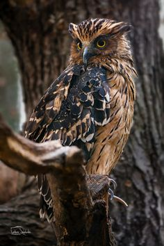 The buffy fish owl (Ketupa ketupu) Owl Photos, Owl Pictures, Curious Creatures, Woodland Creatures, Beautiful Owl, Animals Beautiful, Animals And Pets, Cute Animals, Tier Fotos