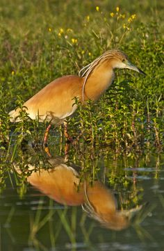 Squacco Heron (Ardeola ralloides)  © Konstantinos Arvanitopoulos Photography. All Rights Reserved.