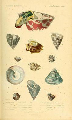 Molluscs Embryo Antiques Shells Engraving Of 1887