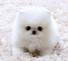 baby white pomeranian SO CUTE I WANT him !!!!!!!