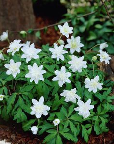 Wood anemone 'Vestal' • Anemone nemorosa 'Vestal' • Wood crowfoot 'Vestal' • Nightcaps 'Vestal' • Plants & Flowers • 99Roots.com