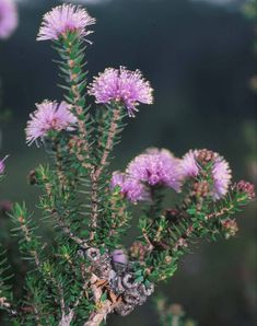 Melaleuca Squamea, known as the Swamp-Honey-myrtle is a common Australian plant found in swampy coastal areas, usually in heathland. A shrub to 3 metres high with corky bark, and crowded woody oval shaped fruit, 5 to 7 mm in diameter. This plant is often noticed in spring, with attractive purple or pink flowers
