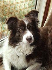 Border collie... I want one of these one day :)