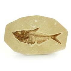 Diplomystus Fish Fossil from Wyoming $219.00 These fossil fish are 54 to 37.5 million years old, from the Eocene epoch.