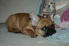 Classic Side Eye, of a French Bulldog Puppy